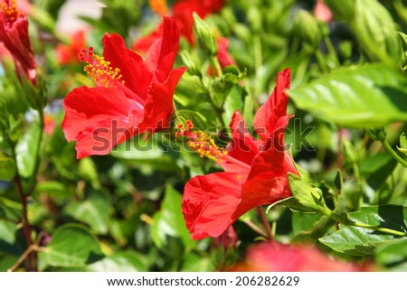 Red hibiscus - stock photo