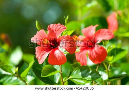 red hibiscus arnottianus - stock photo