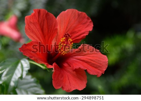 Red hibiscus blooming - stock photo