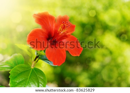 Red hibiscus flower and foliage over bright background - stock photo
