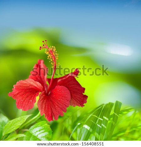 Red Hibiscus Flower Green and Blue Tropical Background with space for text