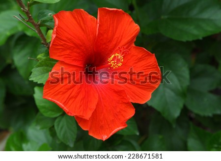 Red Hibiscus Flower in Thailand. - stock photo