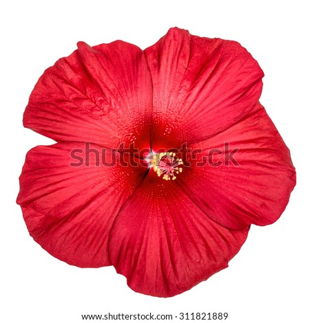 Red hibiscus flower, isolated on white background - stock photo