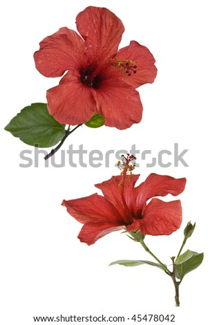 Red hibiscus flower isolated over white - stock photo