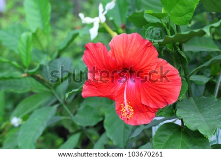 Red Hibiscus Flower. Shallow are blooming in Thailand