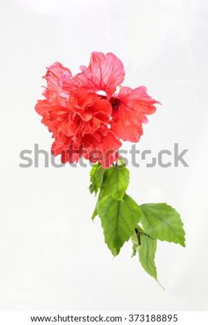 Red Hibiscus Flower with green leaf on white background  - stock photo