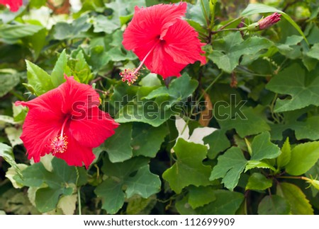 Red Hibiscus flowers blooming on the green leaf background - stock photo