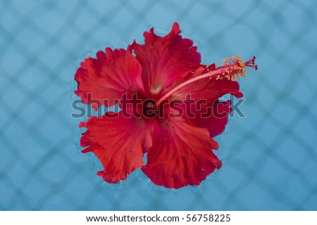 Red Hibiscus in water