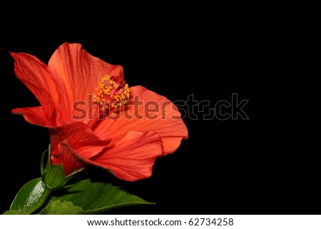 Red Hibiscus on Black - stock photo
