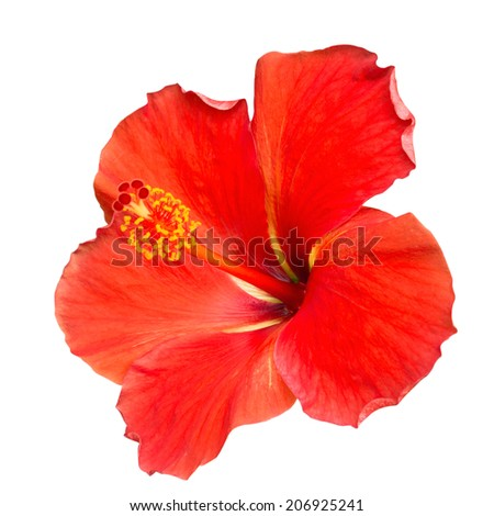 Red Hibiscus on white background with clipping path