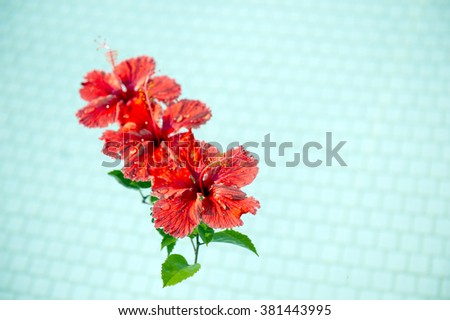 Red hibiscus that floated in the pool-4 - stock photo
