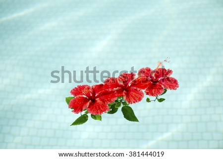 Red hibiscus that floated in the pool-2 - stock photo