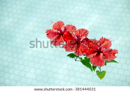 Red hibiscus that floated in the pool-5 - stock photo
