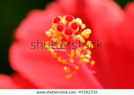 Red Hibiscus with selective focus on the pistils - stock photo
