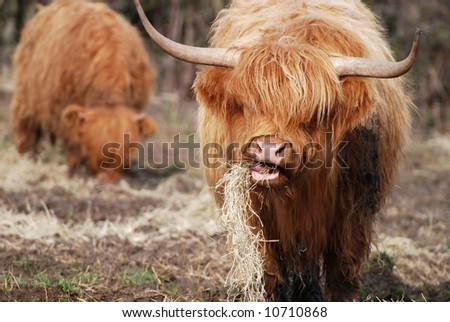 Red highland cow muching on some straw - stock photo