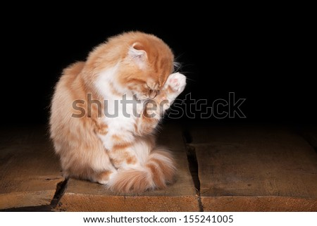 red highland kitten on table with wooden texture