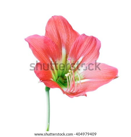Red Hippeastrum flower isolated on whith