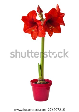 Red Hippeastrum  on a white background isolated - stock photo