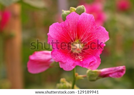 red hollyhock flower in the green garden