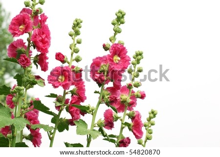 Red hollyhock flower isolated on white - stock photo