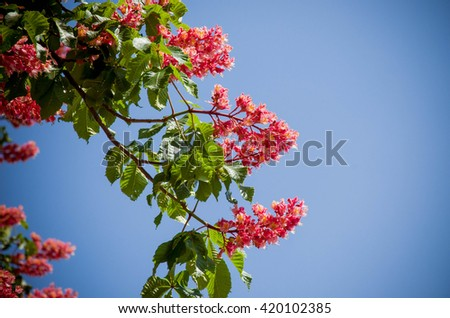 red horse-chestnut tree - symbol of Kiev city in blossom.  - stock photo