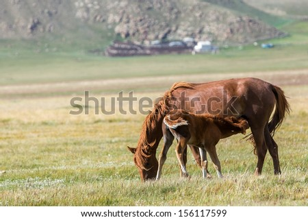 Red horse giving milk to small colt - stock photo