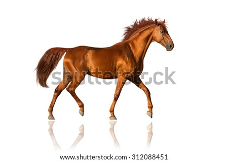 Red horse trotting isolated on white - stock photo