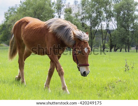 red horse wearing a halter stands on the field and eats bright green grass