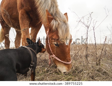 red horse with a white mane eating the gray dry grass on the field near the small brown and black dog