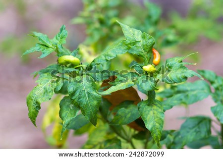 Red hot chili peppers on the tree - stock photo