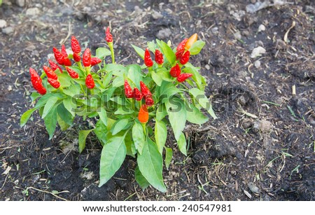 Red hot chili peppers on the tree in nature. - stock photo