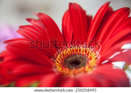 red hot close up of a flower, background blurred, where you can see the yellow filaments of the flower - stock photo