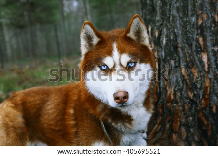 Red Husky - Dog with blue eyes. - stock photo