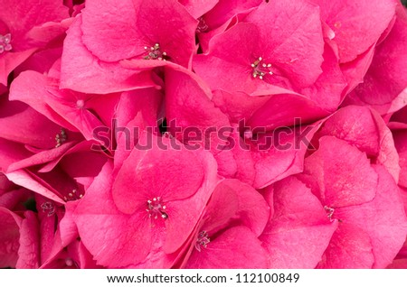 Red hydrangea blossom or flower - stock photo