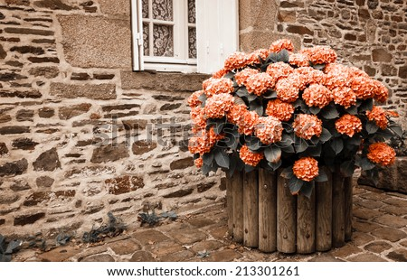 Red hydrangea bush in wooden pot outside the old stone house under the window with lace curtain and metal shutters. Dol de Bretagne, Brittany, France. Aged photo. - stock photo