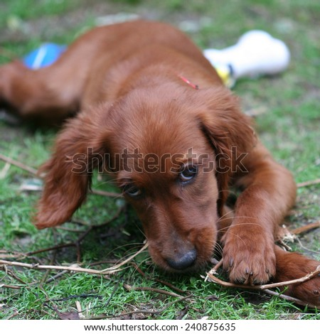 Red Irish Setter - stock photo