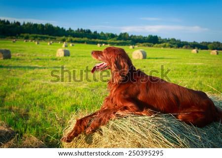 Red irish setter dog - stock photo
