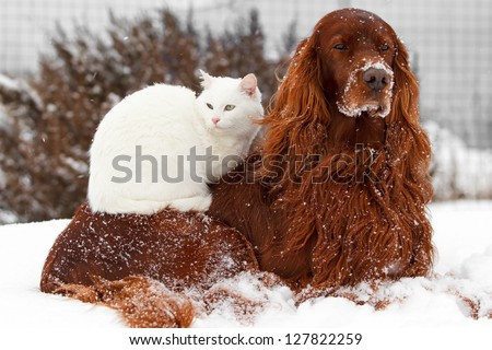 Red irish setter dog and white cat in snow - stock photo