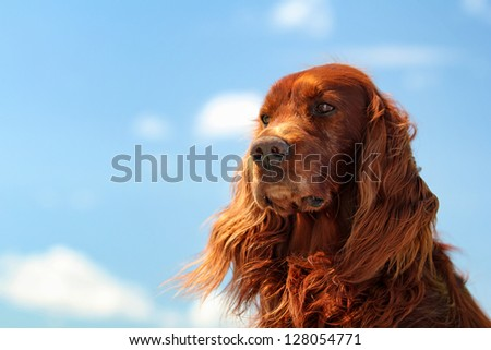 Red irish setter dog turn head on blue sky with clouds - stock photo