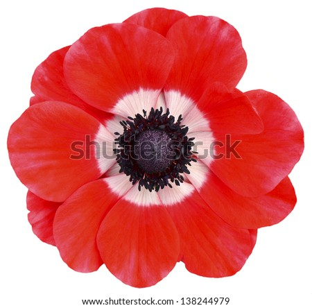 Red isolated flower - stock photo