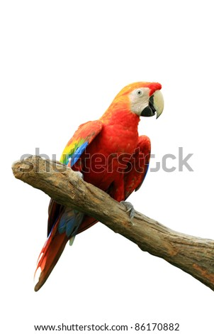 Red isolated parrot - stock photo