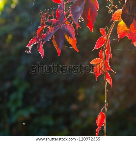 red ivy - stock photo