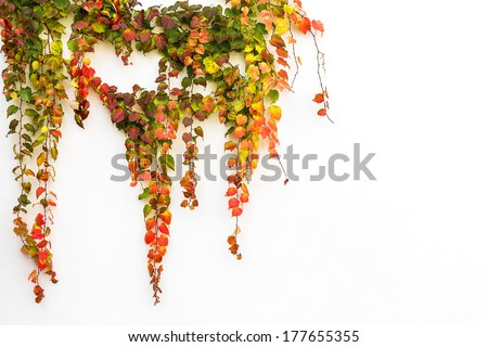 Red ivy creeper leaves on the white wall of a building  - stock photo