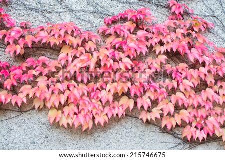 Red Ivy Parthenocissus quinquefolia. Clinging red autumn leaves, Stockholm, Sweden in October. - stock photo