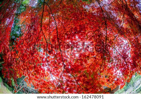 red japanese maple autumn fall , momiji tree in kyoto japan - stock photo