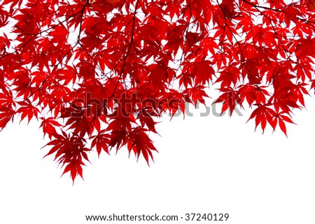 Red japanese maple leaves - stock photo
