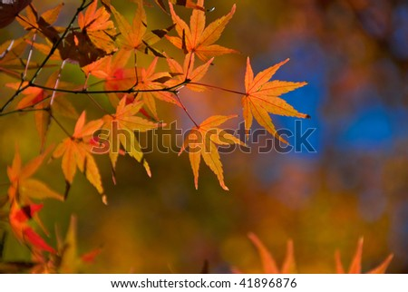 Red Japanese Maple leaves of Acer Palmatum