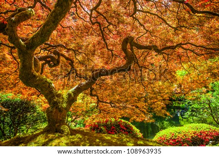 Red japanese maple tree - stock photo