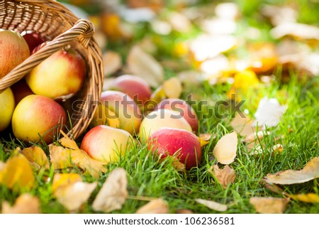Red juicy apples scattered on yellow leaves. Autumn harvest concept - stock photo