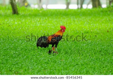 Red Jungle fowl on the field - stock photo